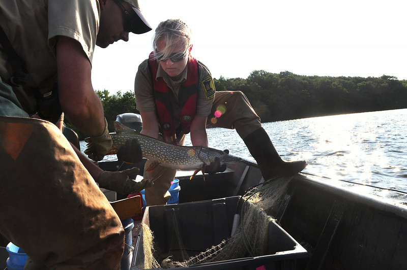 Fisheries specialists Leah Weyandt and Jim Levitt of the Minnesota Department of Natural Resources handle a live northern pike caught in a research gilll net during a survey of Bald Eagle Lake in Ramsey County Thursday, July 10, 2014. The state has some 5,500 waters with fishable populations of predators; about 4,500 have been surveyed. Many of those lakes have reliable data dating back to the 1970s. (Pioneer Press: Dave Orrick)
