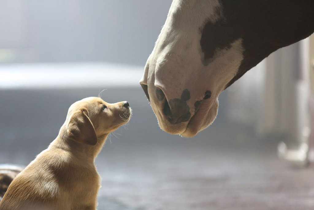 . <p><b>22. BUDWEISER PUPPY</b> <p>Facing lawsuit over alleged Clydesdale harassment. <p>   (AP Photo/Anheuser-Busch)