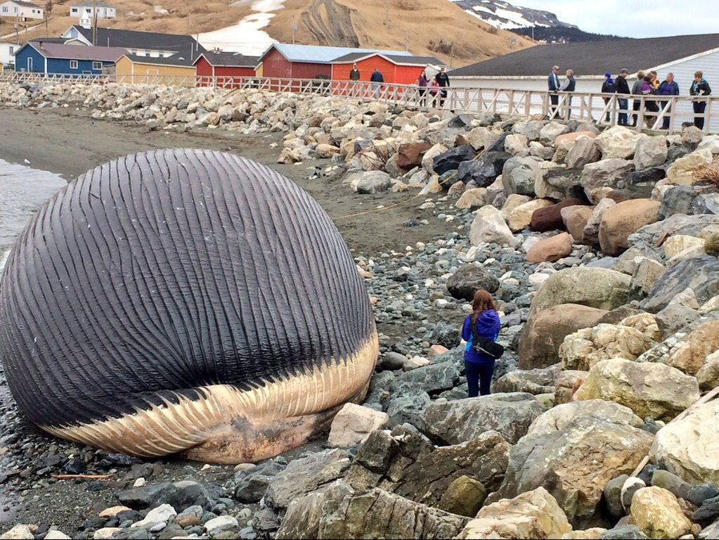 ". <p><b> Residents of a Western Newfoundland town for the past week have been dealing with a most foul stench coming from � </b> <p> A. The carcass of a beached blue whale <p> B. A fish kill <p> C. New Jersey <p><b><a href=\'http://www.telegraph.co.uk/news/worldnews/northamerica/canada/10797636/Bloated-whale-carcass-could-explode.html\' target=""_blank\""> LINK </a></b> <p>   (AP Photo/NTV News via The Canadian Press, Don Bradshaw)"