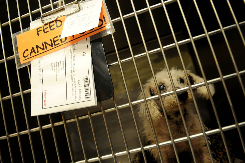 . AJ, a 14-year-old miniature poodle with an ear infection, skin condition and a left eye with a cataract, looks out of his cage as Harris looks at the dog as a possible future rescue. Some of the animals will find foster homes and be adopted in Minnesota. (Pioneer Press: Sherri LaRose-Chiglo)