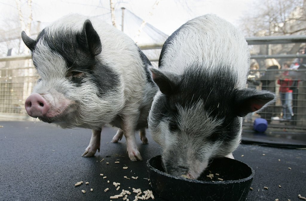 . <p>12. PIGS <p>Seem happy eating their slop, only because no one has introduced them to the wonders of bacon.   (Stan Honda/AFP/Getty Images)