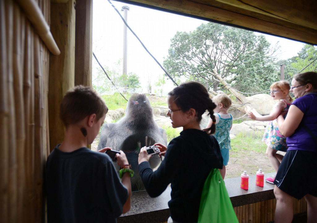 . Kids compare photos they took of a male gorilla in the new exhibit at the St. Paul zoo June 28.  (Pioneer Press: Chris Polydoroff)