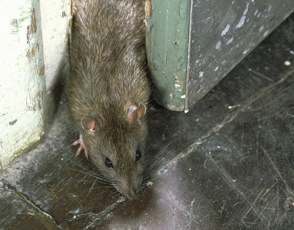 """. 8. RATS <p>University of Minnesota researchers say they feel regret, mostly about being stuck in a lab at the University of Minnesota. (10) <p><b><a href=\'http://www.independent.co.uk/news/science/rats-are-capable-of-feeling-regret-scientists-say-9510038.html\' target=\""""_blank\""""> LINK </a></b> <p>    (AFP/Getty Images)"""