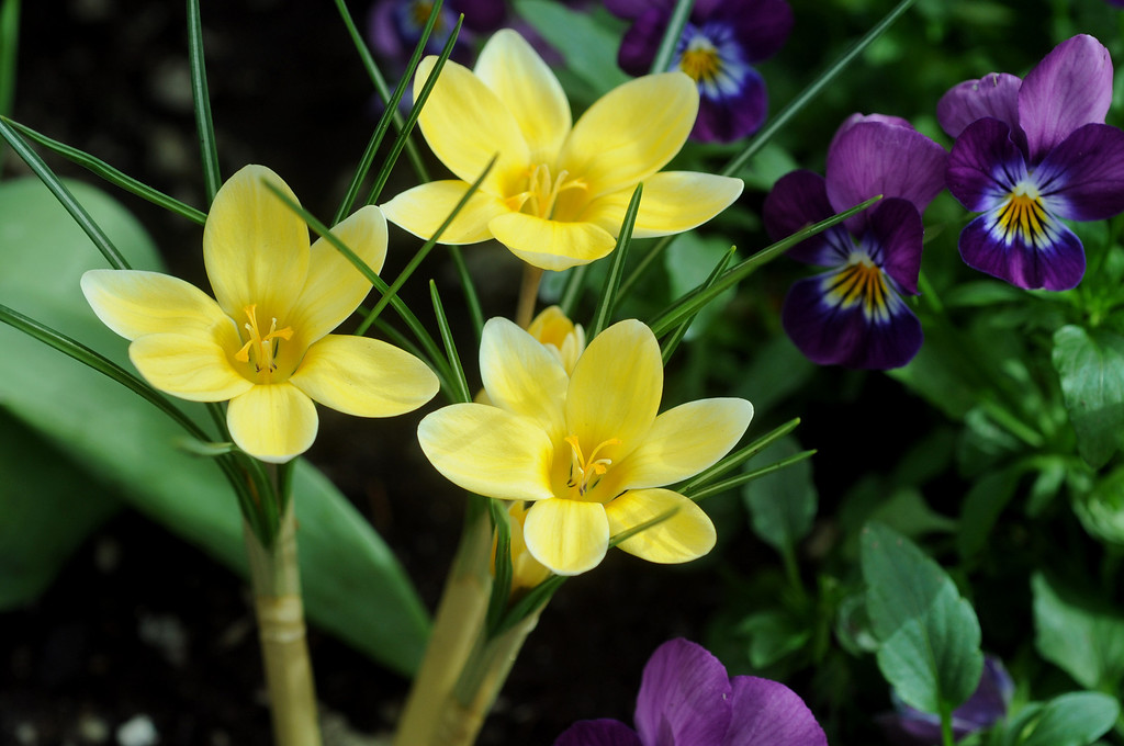 . Crocuses join violas to welcome spring at the Sunken Garden at Como Park Conservatory in St. Paul on Tuesday, March 25, 2014.  (Pioneer Press: Scott Takushi)