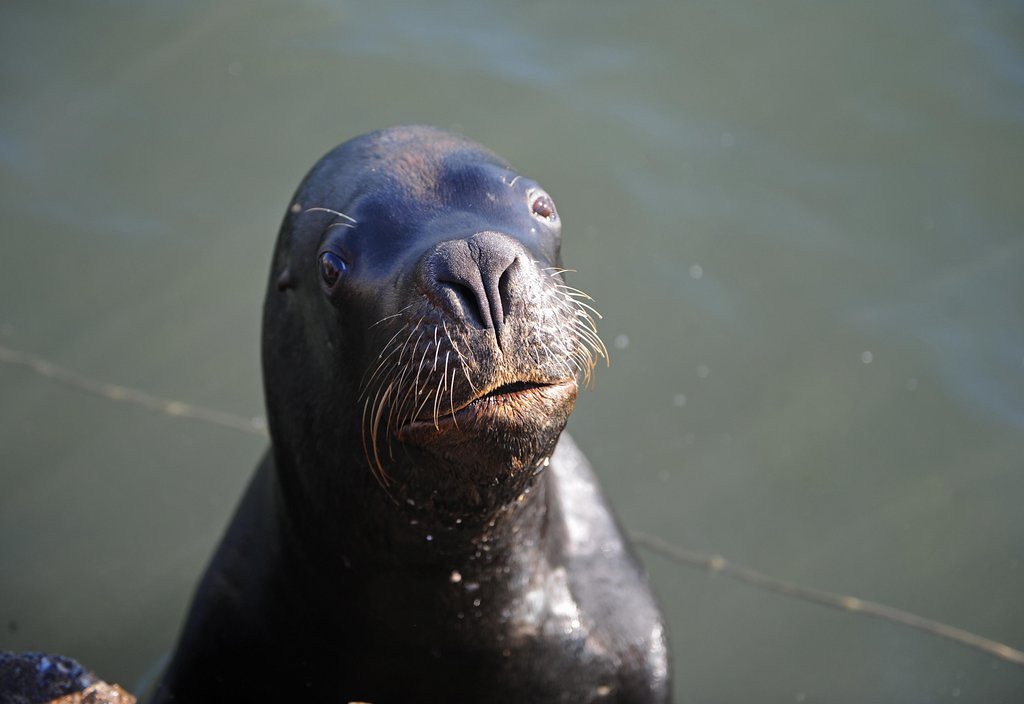 . <p>26. SEA LIONS <p>... Or as sharks like to call them, lunch.   (Miguel Rojo/AFP/Getty Images)