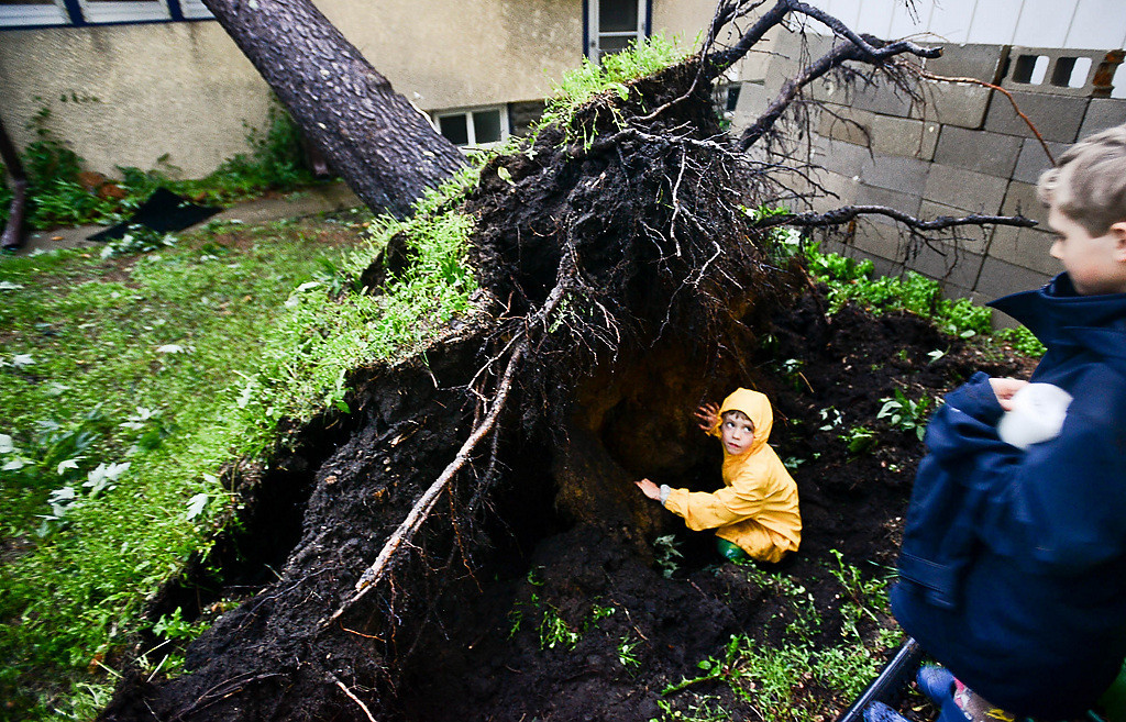 ". ""It\'s my secret fort,\"" said 5-year-old Lewis Garvin, son of Pioneer Press photographer Ben Garvin, as he explores the cavity left in the ground after a large pine tree fell on his house in Minneapolis on Friday night, June 21, 2013.    (Pioneer Press: Ben Garvin)"