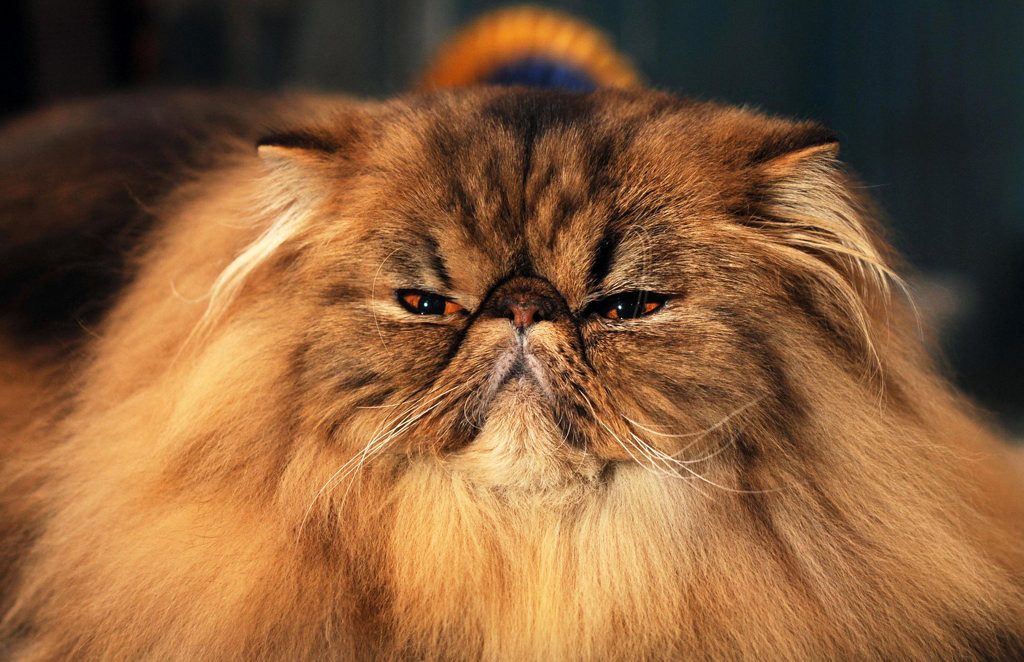 . Sundance Kitt, a male 1 1/2-year-old brown tabby Persian belonging to Lisa Morgan of Waukesha, Wis., looks at the camera during the Saintly City Cat Club\'s 38th Annual Championship Cat Show at Roy Wilkins Exhibition Hall in St. Paul on Sunday, Jan. 26, 2014.  (Pioneer Press: Scott Takushi)