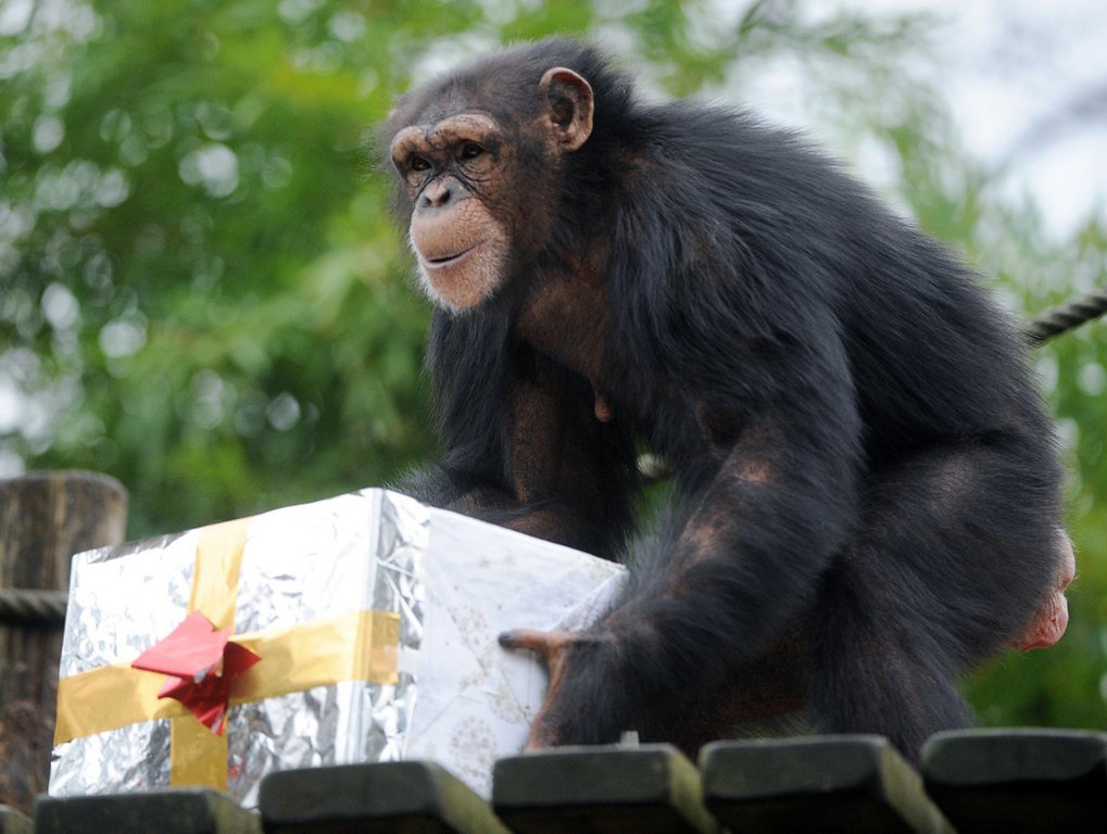 . <p>8. CHIMPANZEES <p>Can do more than just throw feces, unlike human politicians.    (Jean-Francois Monier/AFP/Getty Images)