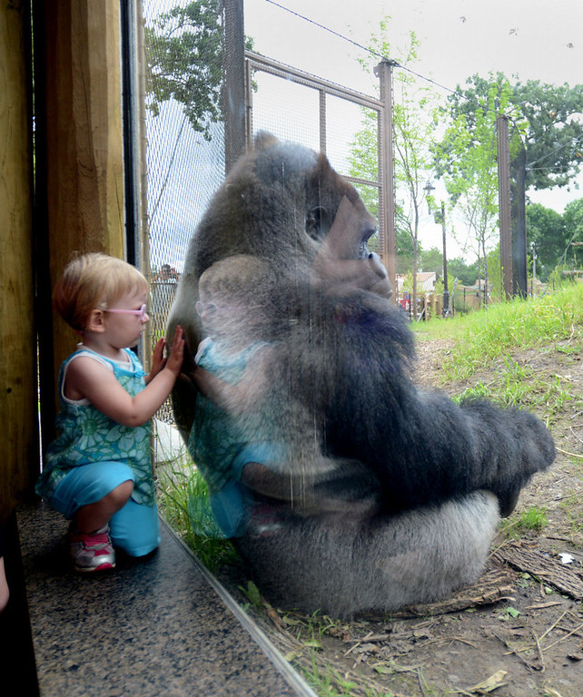 . A child tries to get the attention of a relaxing gorilla at Como Zoo on June 28.  (Pioneer Press: Chris Polydoroff)