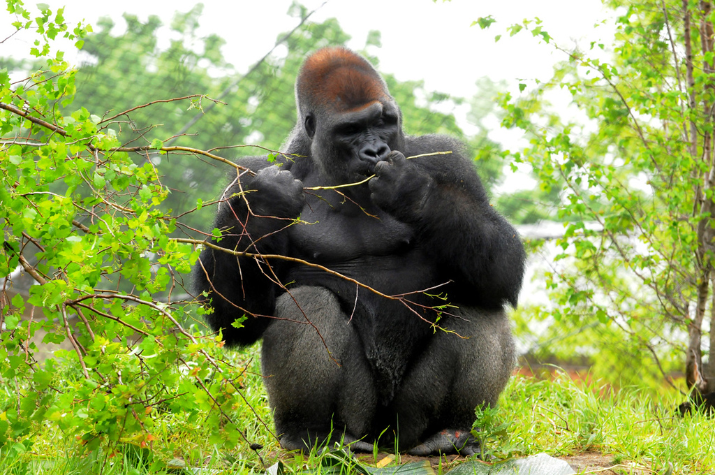 . A gorilla chews at a sapling at Gorilla Forest, the $11 million exhibit redesign and overhaul at Como Park Zoo and Conservatory.  (Pioneer Press: Jean Pieri)