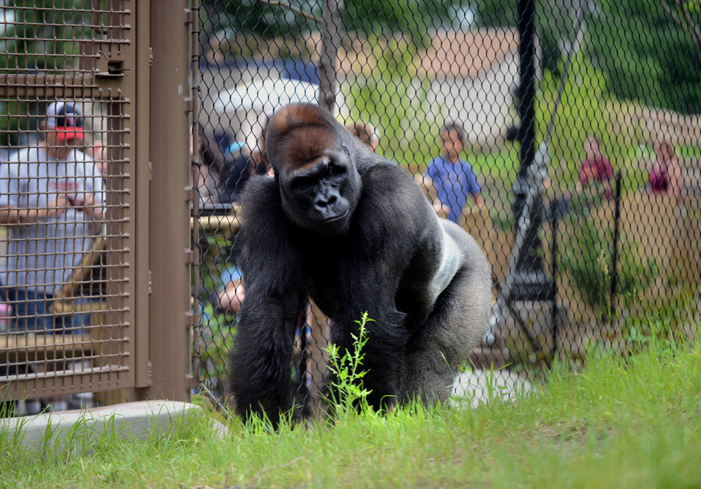 . One of three male gorillas in the Como Zoo\'s newly redesigned primate exhibit surveys his surroundings June 28, 2013. (Pioneer Press: Chris Polydoroff)