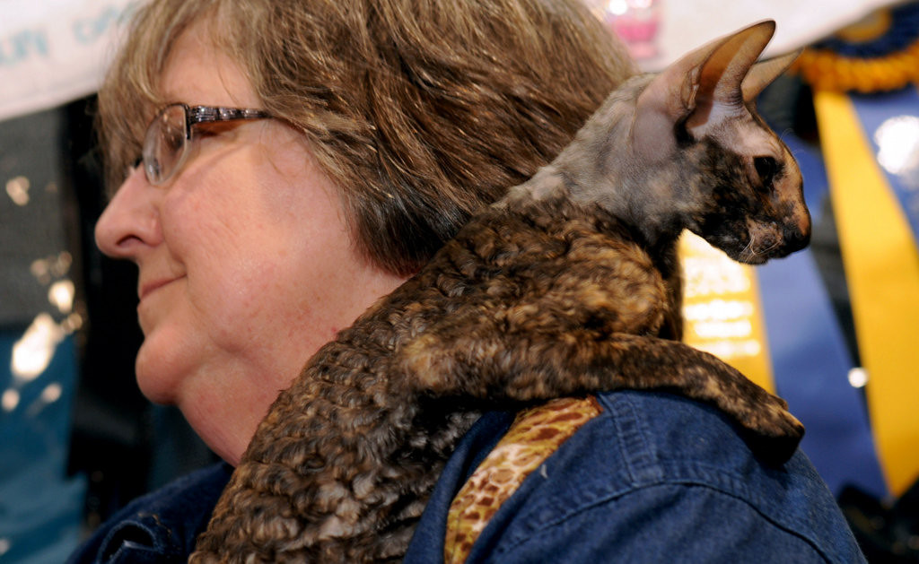 . Kali, a Cornish Rex, sits on Kathy Nuddleman\'s shoulder at the Saintly City Cat Club\'s 38th Annual Championship Cat Show. Kali is the top -ranked Cornish Rex in the 10-state Midwest area, according to Nuddleman, of Mason City, Iowa. (Pioneer Press: Scott Takushi)