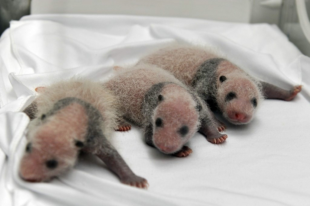 ". 10. (tie) PANDA TRIPLETS <p>About two weeks old, and already more mature than Justin Bieber. (5) </p><p><b><a href=""http://www.twincities.com/life/ci_26320884/china-announces-birth-rare-panda-triplets\"" target=\""_blank\""> LINK </a></b> </p><p>   (AP Photo)</p>"