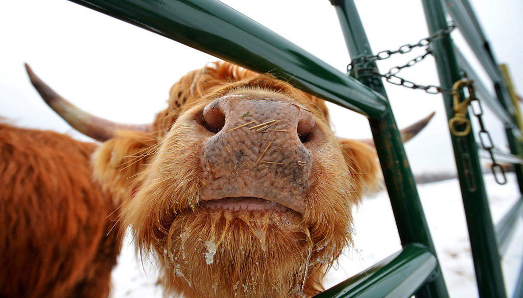 """. 30-month-old \""""Blondie,\"""" one of a herd of six Scottish Highland steers, anticipates lunch at Rob Strom\'s 80-acre farm in Twig, just west of Duluth, on Wednesday December 12, 2012. Strom is part of a group based at Fitger\'s Brewhouse in Duluth who will feed the herd spent grain from the brewing process, breed them and use the meat in their restaurant.  (Pioneer Press: Richard Marshall)"""