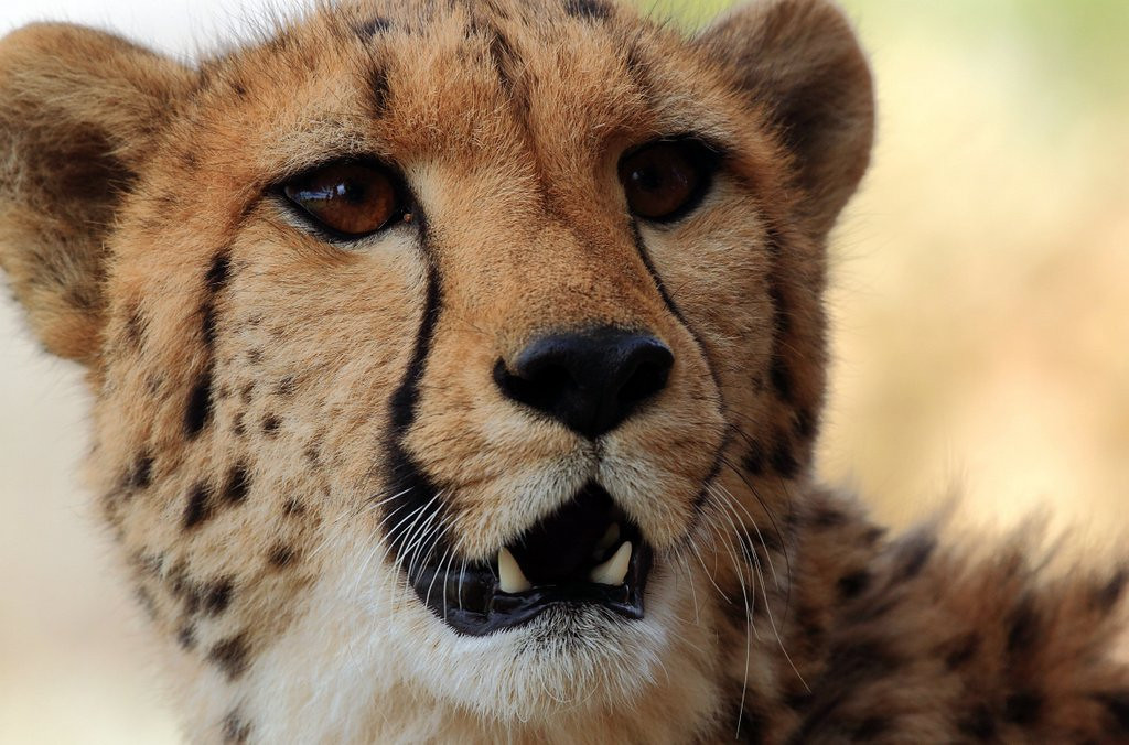 . <p>28. CHEETAHS <p>Despite name, have little in common with baseball�s steroid users.    (Christophe Beaudufe/AFP/Getty Images)