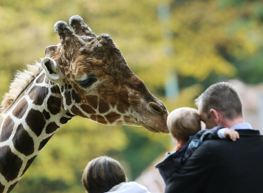 """. <p>10. (tie) GIRAFFES  <p>A nice break from lions� usual zoo menu. (unranked) <p><b><a href=\'http://www.nbcnews.com/news/world/zoo-kills-unwanted-giraffe-marius-feeds-carcass-lions-n25726\' target=\""""_blank\""""> HUH?</a></b> <p>    (Roland Weihrauch/AFP/Getty Images)"""