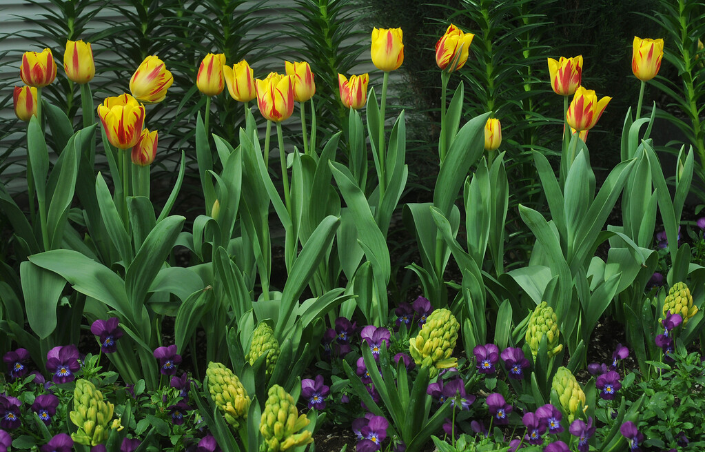 . Tulips accented with violas and hyacinth bring spring to  the Sunken Garden at Como Park Conservatory in St. Paul on Tuesday, March 25, 2014.  (Pioneer Press: Scott Takushi)