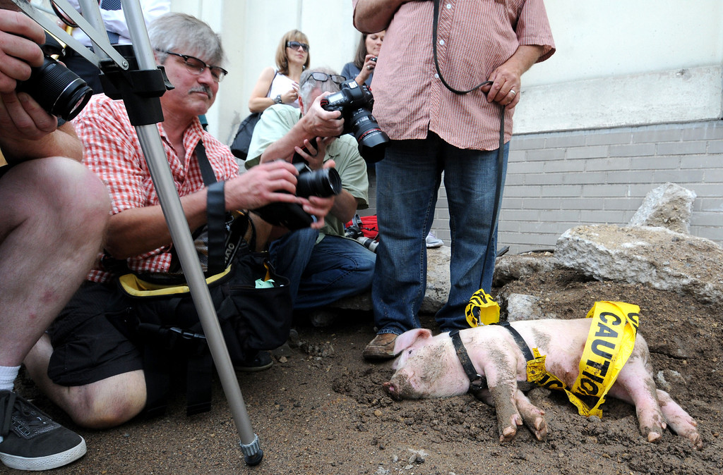 ". Three month-old Saints mascot ""Mackleboar\"" named after rapper Macklemore, gets his 15 minutes of fame by local photographers at a Saints baseball ceremony and demolition on Saturday, July 13, 2013,  at the old Gillette/Diamond Products building in Lowertown in downtown St. Paul.  The pig took advantage of the mud along the side of the building that will be taken down for a new Saints ballpark. (Pioneer Press: Sherri LaRose-Chiglo)"