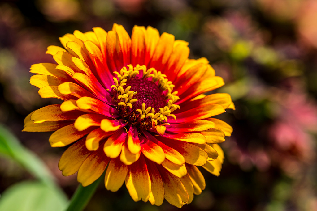 . A �Zowie! Yellow Flame� zinna shows off its layers of petals and two-tone coloring. (Pioneer Press: Andy Rathbun)
