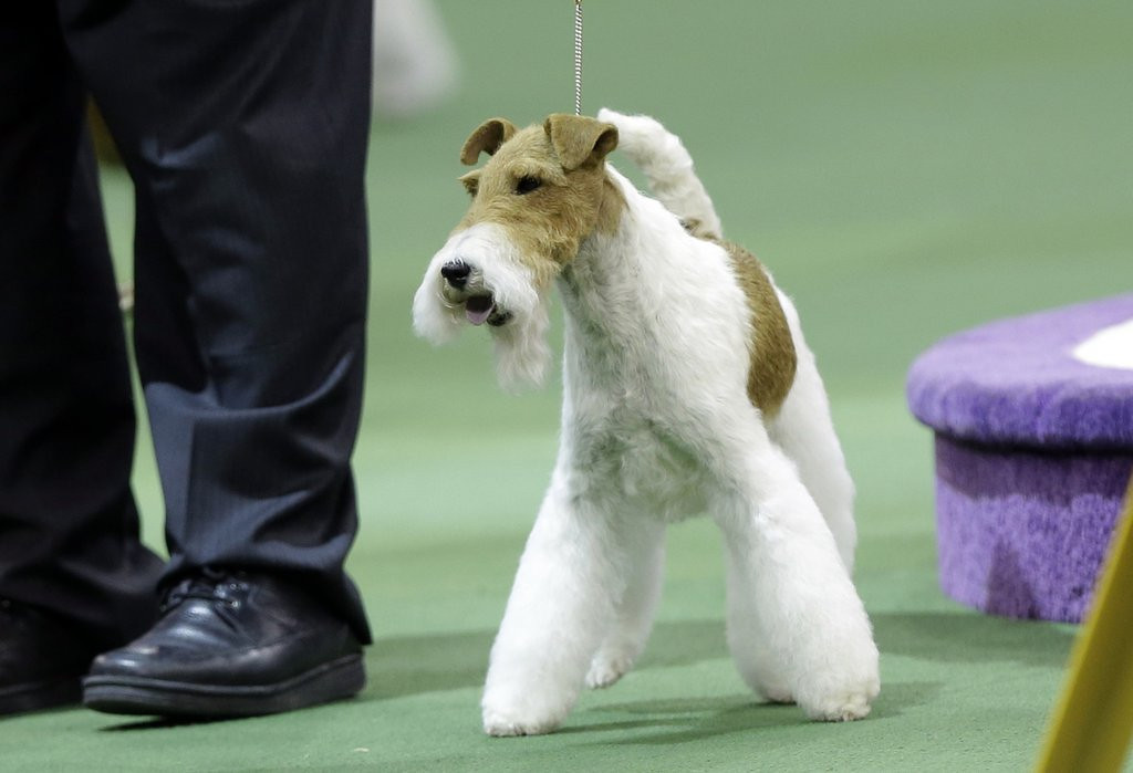 """. <p>9. WESTMINSTER DOG SHOW <p>Still dominated by the Vast Terrier Conspiracy. (7) <p><b><a href=\'http://www.twincities.com/breakingnews/ci_25118988/sky-wire-fox-terrier-who-likes-dressing-u \' target=\""""_blank\""""> HUH?</a></b> <p>    (AP Photo/Frank Franklin II)"""