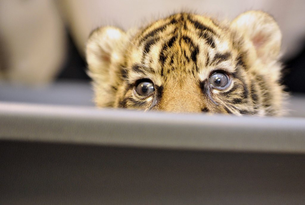 . <p>21. TIGERS <p>They�re GRRRRRRRRRRRRRRREAT!!!  (Boris Roessler/AFP/Getty Images)