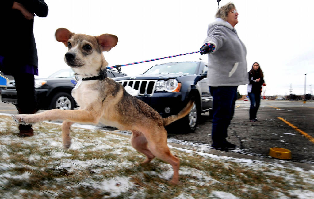""". Volunteer Gwen Dubay holds the leash as Bandit greets another dog at a \""""rest stop\"""" transfer outside a McDonald\'s in Merrillville, Ind. Dubay is the mother of Transport Coordinator Tara Harris. (Pioneer Press: Sherri LaRose-Chiglo)"""