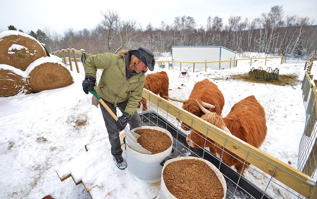 . Facilities manager Rob Strom shovels fresh brewing mash for his herd of six Scottish Highland steers at his 80-acre farm in Twig, just west of Duluth, on Wednesday December 12, 2012. Strom is part of a group based at Fitger\'s Brewhouse in Duluth who will feed the herd spent grain from the brewing process, breed them and use the meat in their restaurant.  (Pioneer Press: Richard Marshall)