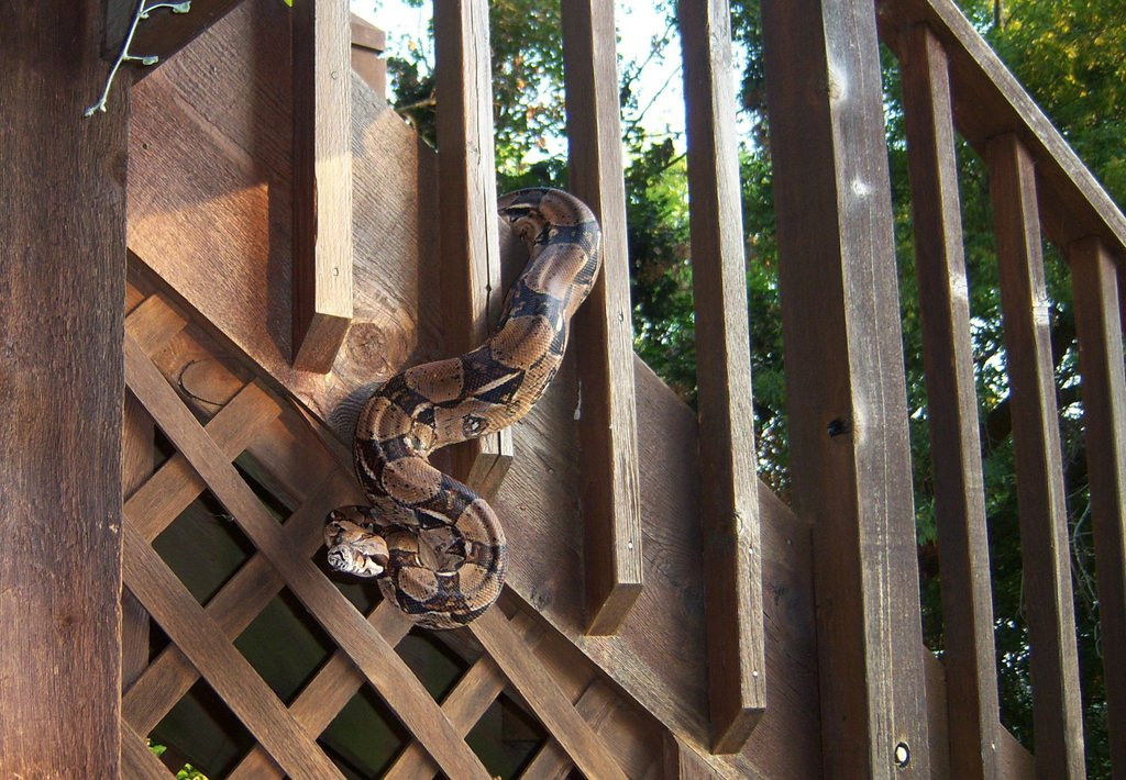 ". <p>2. (tie) BOA CONSTRICTORS  <p>Apparently attracted to Stillwater because of the great schools. (unranked) <p><b><a href=\'http://www.twincities.com/washingtoncounty/ci_23907956/stillwater-python-discovered-homes-deck\' target=""_blank\""> HUH?</a></b> <p>   (Photo courtesy of Camille Kiolbasa)"