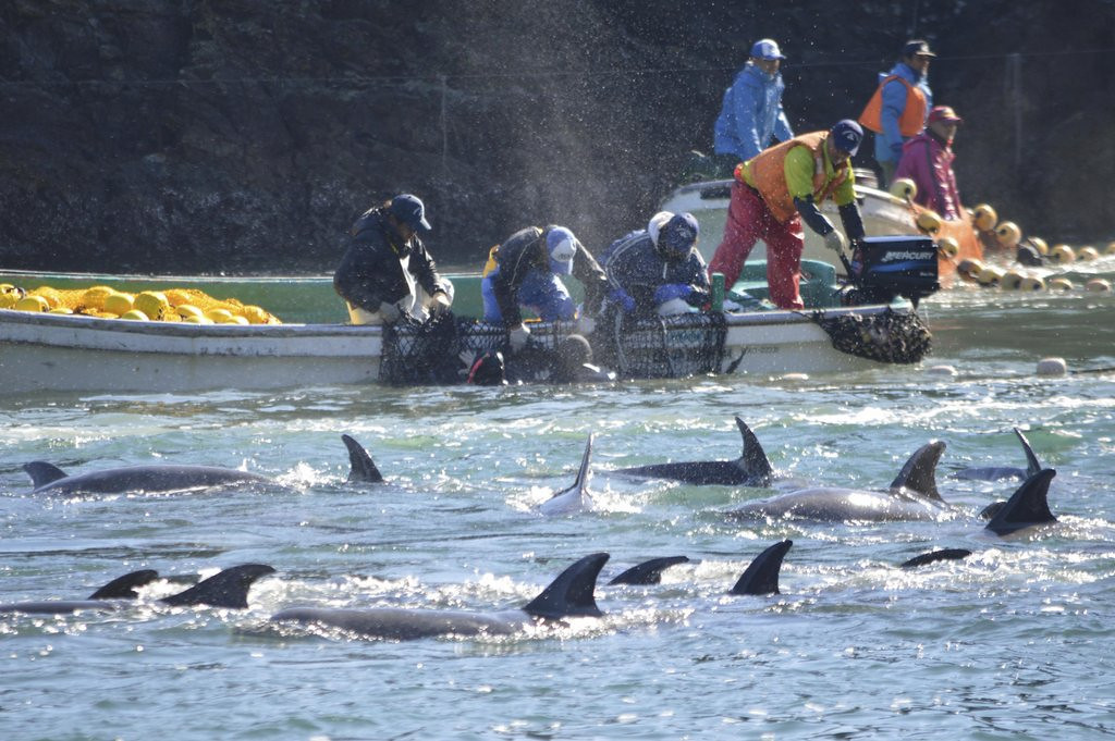 """. <p><b> Animal rights advocates were outraged at the release of new footage showing hundreds of dolphins being slaughtered by � </b> <p> A. Japanese fisherman <p> B. Russian whalers <p> C. Justin Bieber�s entourage <p><b><a href=\'http://www.cnn.com/2014/01/27/opinion/safina-dolphin-hunt-killing-method/\' target=\""""_blank\"""">HUH?</a></b> <p>   (AP Photo/Sea Shepherd Conservation Society)"""