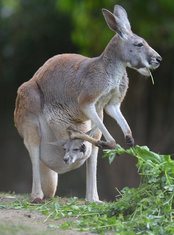 . <p>22. KANGAROOS <p>If you knew what was in those pouches, you wouldn�t think they were so cozy.     (Marcus Brandt/AFP/GettyImages)