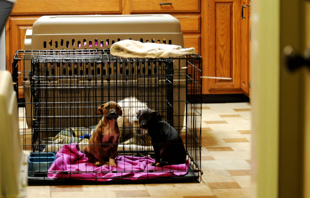 . The puppies wait to be loaded up for transport in the kitchen of Tara Harris\' home in Indianapolis. (Pioneer Press: Sherri LaRose-Chiglo)