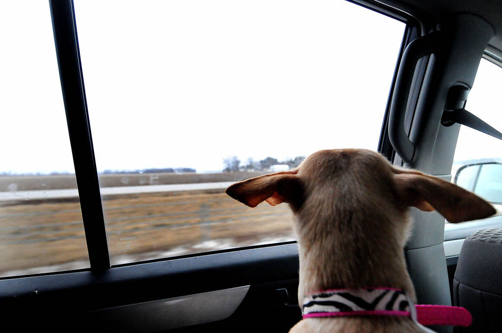 . Chloe, a four-year-old Chihuahua, looks out at the car window as she travels down the interstate between Indianapolis and Merrillville, Ind., the first leg of a 12-hour journey to Minnesota on Saturday, Feb. 9, 2013. Every Dog Counts Rescue, of Indianapolis, transferred eleven dogs and six puppies to a rescue that provides foster homes in the Twin Cities. (Pioneer Press: Sherri LaRose-Chiglo)