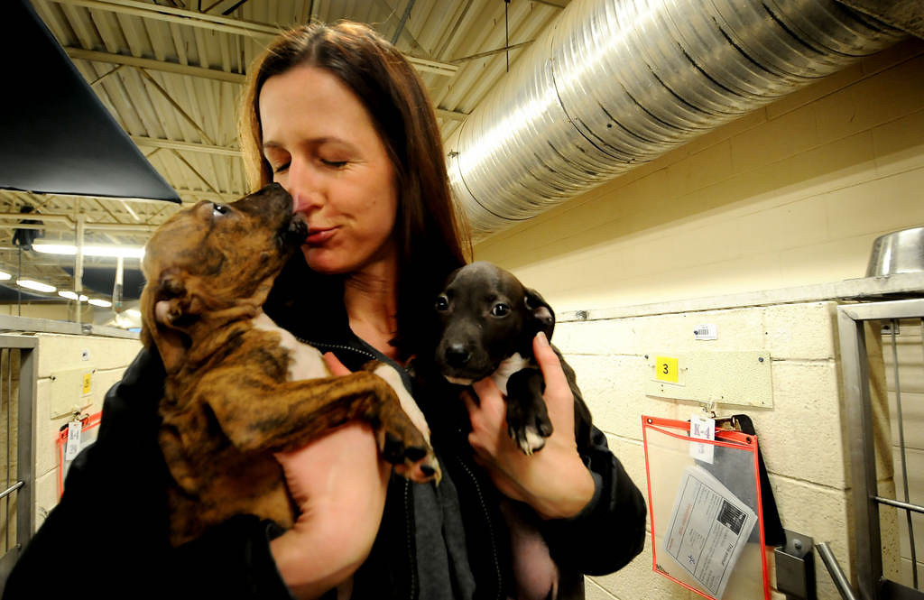 . Tara Harris picks up a pair of Pit Bull mix puppies minutes after their mother and two litter mates were returned to their owner by the IACC. The owner surrendered the two puppies after an investigation by Animal Control. Harris took the puppies back to her home for future transport. (Pioneer Press: Sherri LaRose-Chiglo)