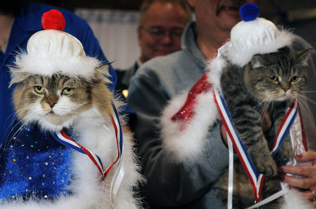 """. Two Straight Hair Selkirk Rex cats, a brother and sister from the same litter, were crowned  King Cat and Queen Cat by Winter Carnival royalty at the Saintly City Cat Club\'s 38th Annual Championship Cat Show. King Clone Commander Keller, left, and \""""Little Bear, both belonging to Cory and Karen Hovland and their son, Matt Overholser of Pine City, Minn., were  given cat-sized capes, crowns and medals during a ceremony at the end of the two-day cat show.  (Pioneer Press: Scott Takushi)"""