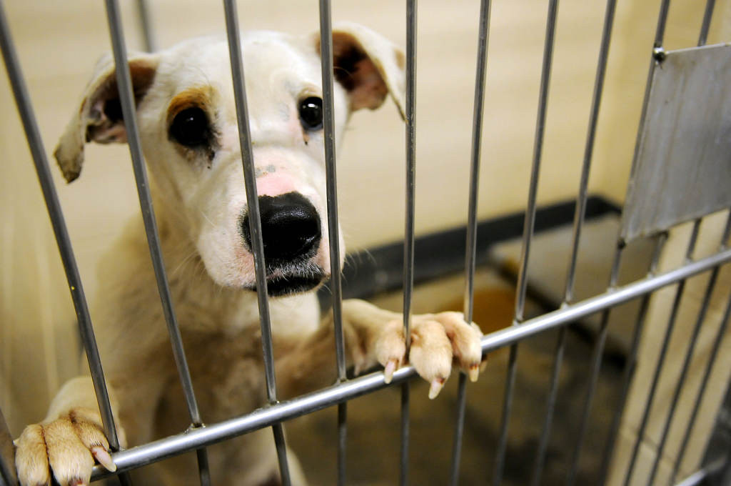 . A six month-old Pit Bull Terrier mix available for adoption at the City of Indianapolis Animal Care and Control (IACC) in Indianapolis. (Pioneer Press: Sherri LaRose-Chiglo)