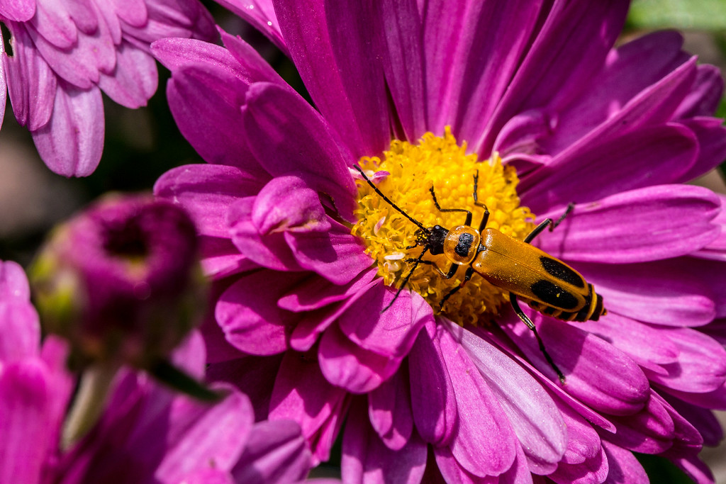. A soldier beetle explores a �Lavender Daisy� Mammoth garden mum. Soldier beetles eat a variety of soft-bodied insects and may wait for their prey on flowers. (Pioneer Press: Andy Rathbun)