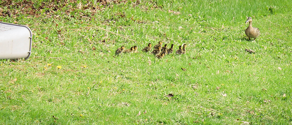 . The ducks stumbled but quickly gained their bearings and raced toward their mother in a symphony of peeps.