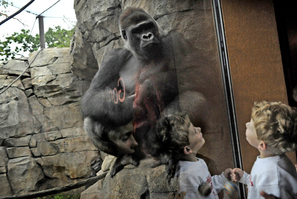. Children check out an adult gorilla at Gorilla Forest on June 6, 2013. (St. Paul Pioneer Press: Jean Pieri)