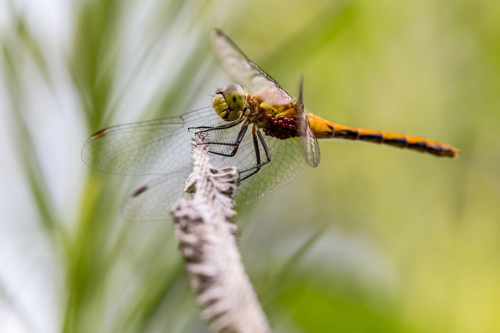 . A green darner dragonfly pauses on a plant. (Pioneer Press: Andy Rathbun)
