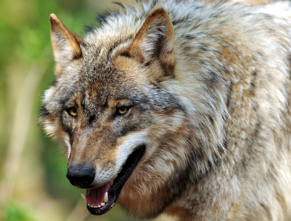 """. <p>8. (tie) WOLVES <p>Not always as docile as the ones you see at Target Center. (unranked) <p><b><a href=\'http://www.twincities.com/localnews/ci_23947833/apparent-wolf-attack-hurts-teen-northern-minnesota-campground\' target=\""""_blank\""""> HUH?</a></b> <p>    (Ingo Wagner/AFP/Getty Images)"""
