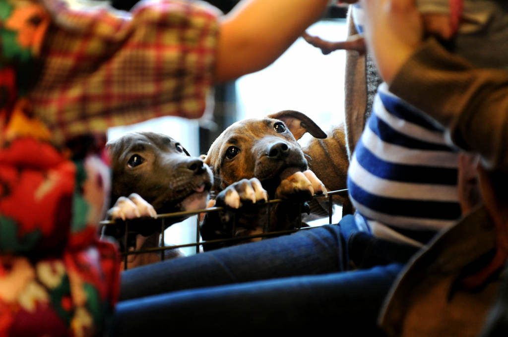 . Newly-named rescue pups, Hope, left, and her brother Phoenix watch as another dog gets some attention after arriving at Pet Evolution in Woodbury on Saturday, Feb. 16, 2013. The two puppies have been in Minnesota for one week after Every Dog Counts Rescue transported them from Indianapolis. (Pioneer Press: Sherri LaRose-Chiglo)