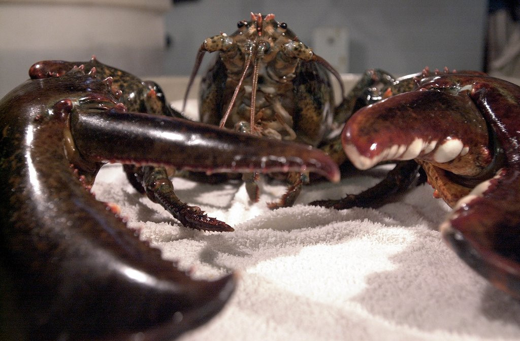 ". <p><b><a href=\'http://grist.org/climate-energy/claws-and-effect-climate-change-turns-lobsters-into-cannibals/\' target=""_blank\""> 5. Lobsters </a></b> <p>Clawed creatures more likely to turn to cannibalism if they�re surrounded by drawn butter. (unranked) <p> --------------------------------------------   (Darren McCollester/Getty Images)"