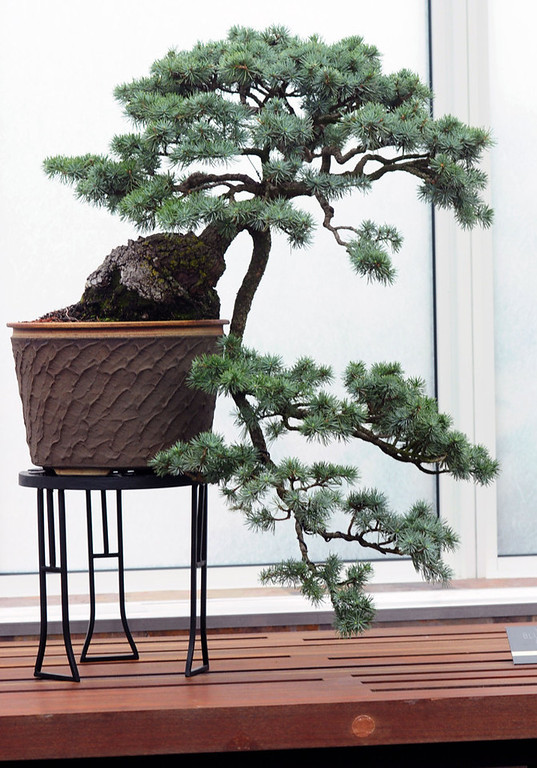 . A Blue Atlas Cedar bonsai tree is on display in the new building and landscape addition at the Ordway Gardens. (Pioneer Press: Scott Takushi)