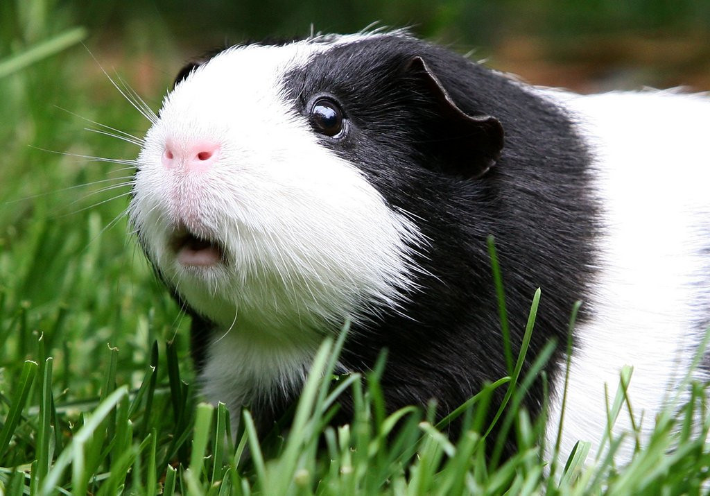 """. <p>5. (tie) GUINEA PIG MEAT <p>You have to be REALLY careful to thoroughly cook the other, other, other white meat. (unranked) <p><b><a href=\'http://gawker.com/minnesotan-guinea-pig-street-meat-ends-badly-1197703651\' target=\""""_blank\""""> HUH?</a></b> <p>    (Justin Sullivan/Getty Images)"""