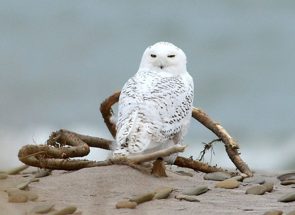 """. <p>6. SNOWY OWLS <p>Very beautiful and majestic ... until they�re sucked into jet engines. (unranked) <p><b><a href=\'http://www.nbcnewyork.com/news/local/Port-Authority-Killing-Snowy-Owls-Airports-Source-235026351.html\' target=\""""_blank\""""> HUH?</a></b> <p>    (AP Photo/Erie Times-News, Christopher Millette)"""