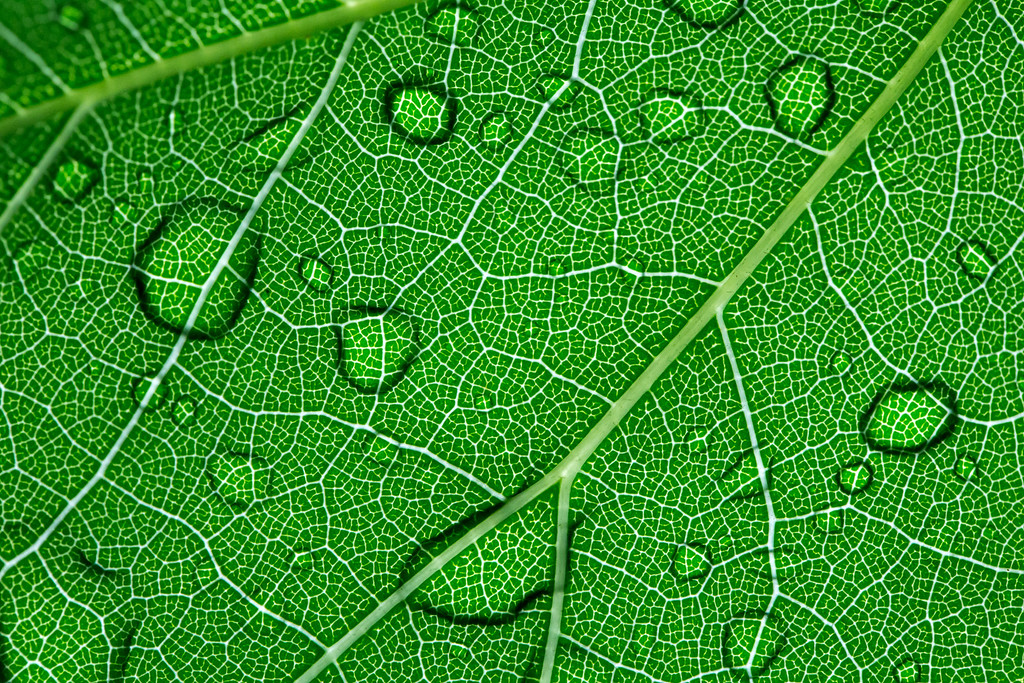 . Water droplets on the top of a leaf are seen from the underside. (Pioneer Press: Andy Rathbun)