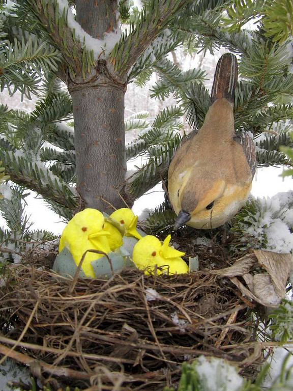 ". ""Wild Yellow-Breasted Peeps discovered nesting,\"" by Jane Dierberger"